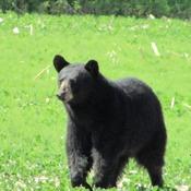 A black Bear in Kanata