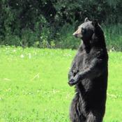 Black Bear in Kanata