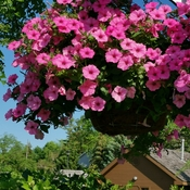 June 13 2021 26C Beautiful day! Pink Petunias at Mill Pond Park in Richmond Hill