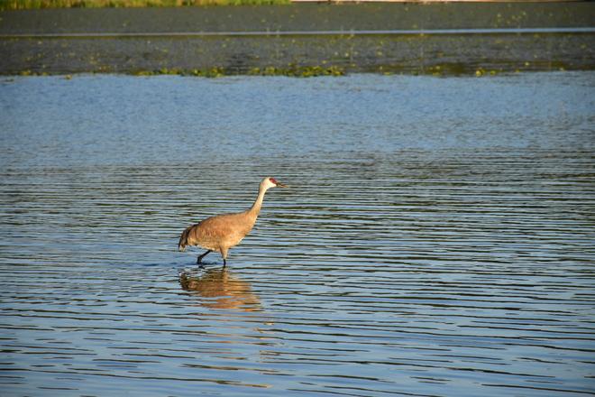 Sandhill Crane Burnaby, BC