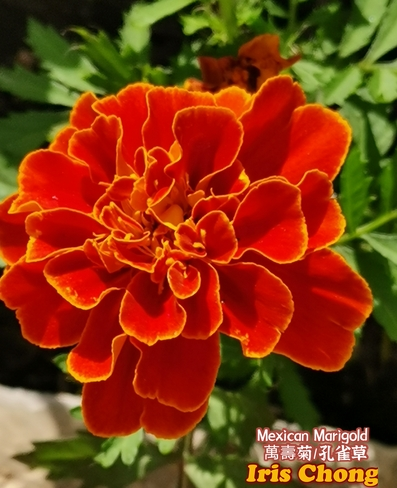 June 13 2021 26C Colorful summer! Gorgeous Mexican Marigold in Thornhill Thornhill, ON