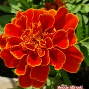 June 13 2021 26C Colorful summer! Gorgeous Mexican Marigold in Thornhill