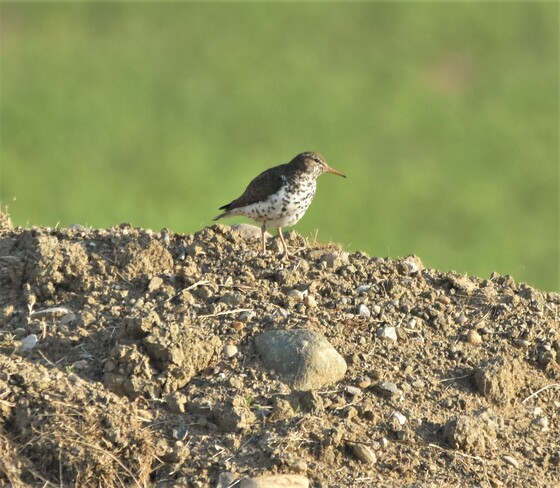 spotted sandpiper Tilbury, Chatham-Kent, ON