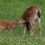 2021-06-13- Fawn looking for lunch in Colwood BC