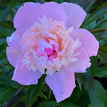 2021-06-13- Peony, in subdued garden light, in Colwood BC