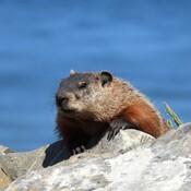 Une autre marmotte aujourd'hui