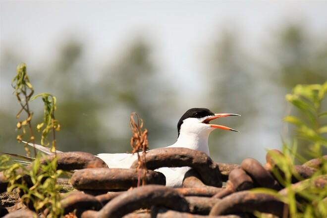 Common Tern, Petawawa, ON