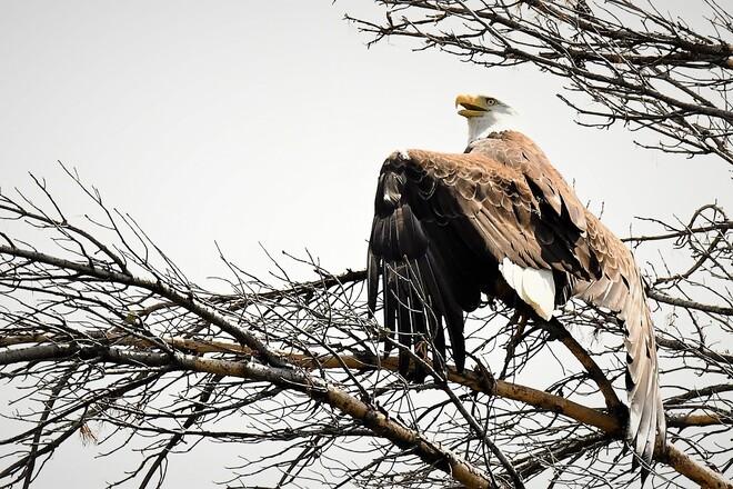 Eagle, Petawawa, ON