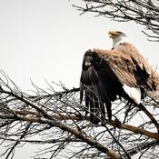 Eagle,