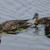 Ducklings Are Getting Big