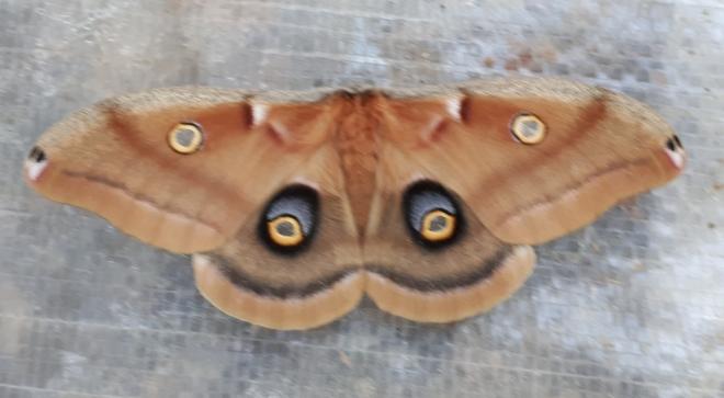 Papillon spectaculaire Chute-Saint-Philippe, QC