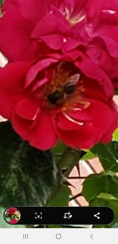 petite abeille qui butine Montréal, QC