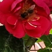 petite abeille qui butine