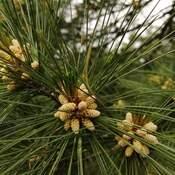 Spring spruce cones!