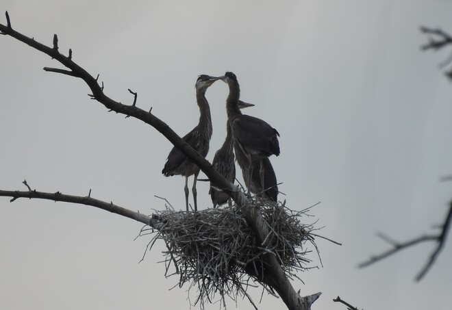 Great Blue Heron Family NEW DUNDEE
