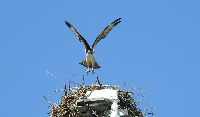Osprey coming home to watch the Ball Game NEW DUNDEE