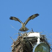 Osprey coming home to watch the Ball Game