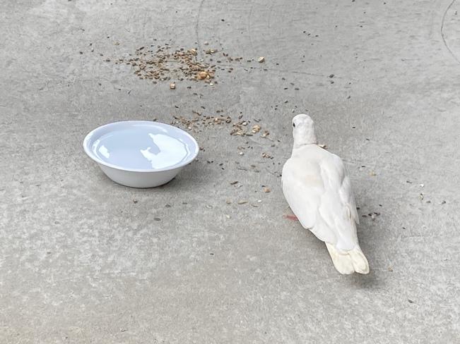 Une colombe s'invite Rivière-des-Prairies, Riviere-des-Prairies—Pointe-aux-Trembles, Montréal, QC