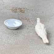 Une colombe s'invite