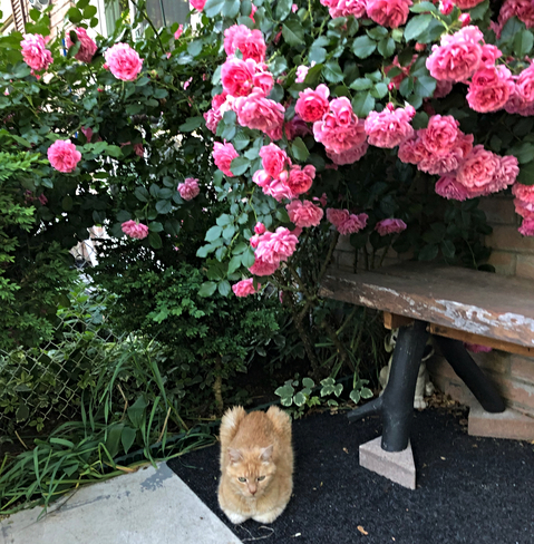 Cat and Roses Mississauga, ON