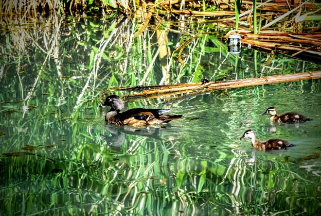 ducks Kelowna, BC