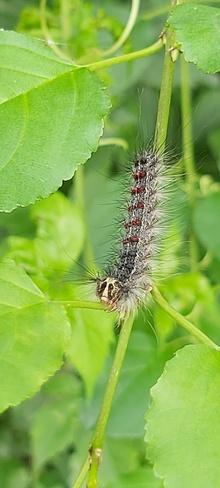 caterpillar Mud Lake, ON