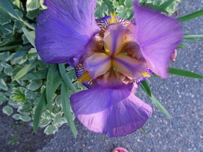 Purple Bearded Iris Sudbury, ON