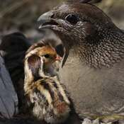 2021-06-14 - Quail, family time, in Colwood BC