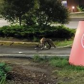 Fox at the Civic