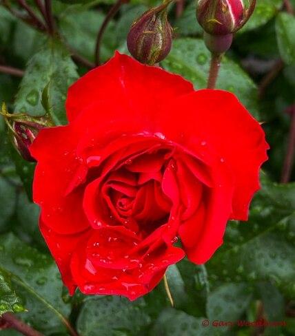 2021-06-14 - Red Rose in Langford BC Langford, BC