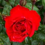 2021-06-14 - Red Rose in Langford BC