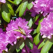 Swallowtail Butterfly on a Rhododendron bloom