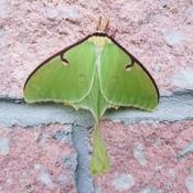 papillon du nord