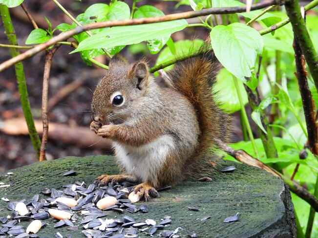 Un jeune écureuil Matane, QC
