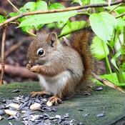 Un jeune écureuil