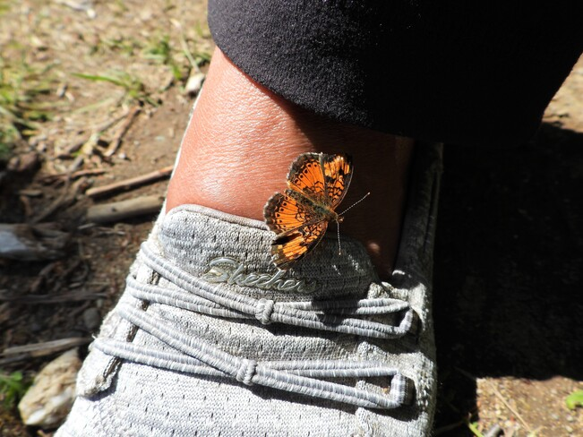 Incroyable mais ce papillon se colle sur le pied et le doigt Matane, QC