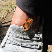Incroyable mais ce papillon se colle sur le pied et le doigt