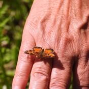 Incroyable ce papillon se colle sur le pied et le doigt