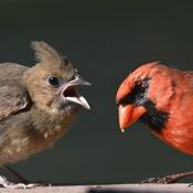 Cardinal mâle nourissant son petit.