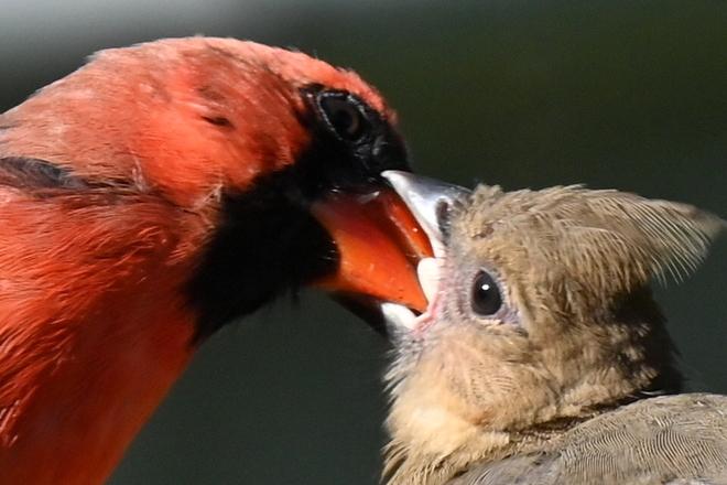 Cardinal mâle nourissant son petit. Saint-Basile-le-Grand, QC