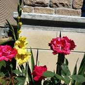 Rose and Gladiolus Bloom