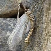 Corydale cornue mâle