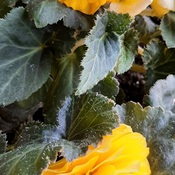 Yellow Begonias