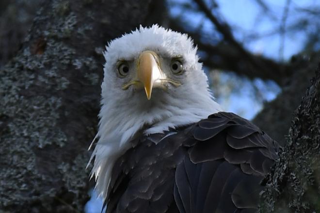 Eagle. Petawawa, ON