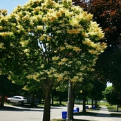 June 17 2021 24C Beautiful Japanese lilac in full bloom in Thornhill