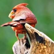 Cardinal Miam miam