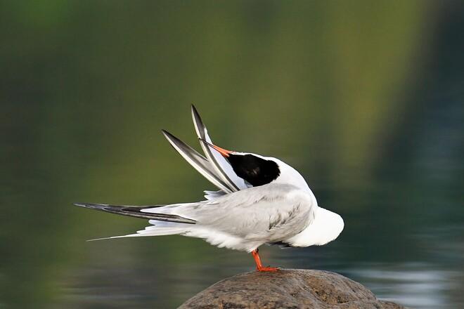 Tern. Petawawa, ON