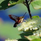 Hummingbird Moth at Work in Algonquin Park, Ontario