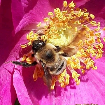 June 18 2021 20C Busy bee on pink Rose in Thornhill