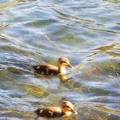 Ducklings out for a swim